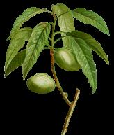 Prunus-amygdalus