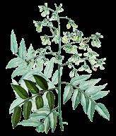 Sophora-japonica